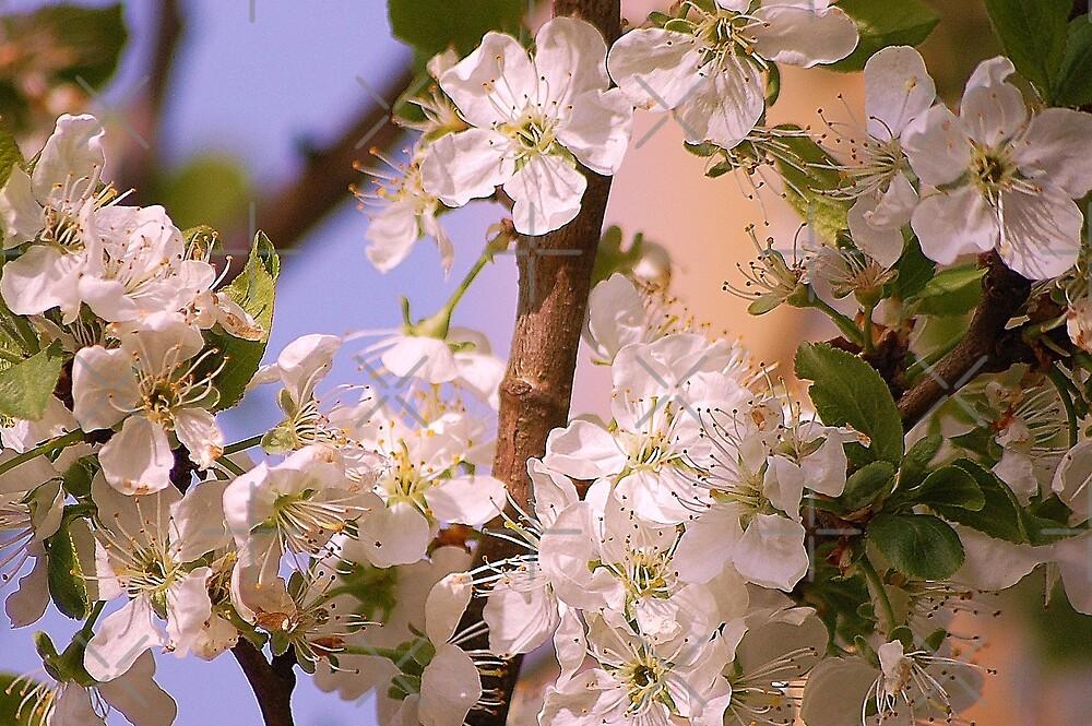 Cherry tree's best days by loiteke