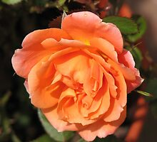 Orange Wildfire - Miniature Rose by MidnightMelody