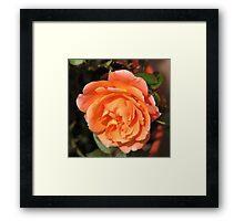 Orange Wildfire - Miniature Rose Framed Print