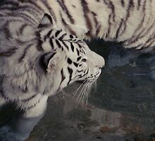 White Bengal Tiger by MMerritt