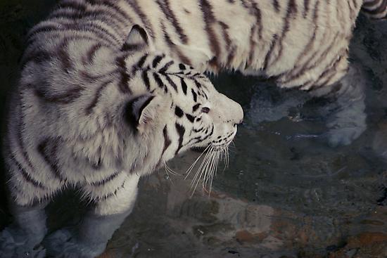 White Bengal Tiger by MMerritt