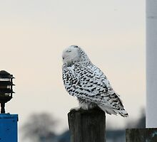 Snowy Owl at the Beach by hawkhighness