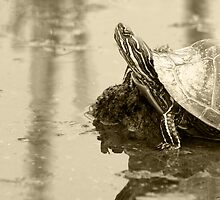 Painted Turtle on Mud in a Marsh by rhamm