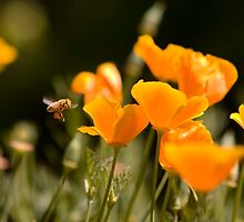 Bee Approching a California Poppy Looking for Pollen by Buckwhite