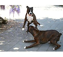 Playtime  -Boxer Dogs Series- Photographic Print