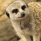 Meerkat by James Millward