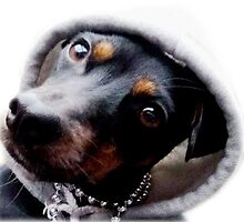 In Da Hood - Dachshund Cross Jack Russell Terrier by moonshinepdise