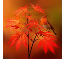 Japanese Maple & Robin Photographic Print