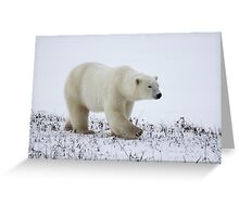 Polar Bear on the Tundra, Churchill, Canada Greeting Card