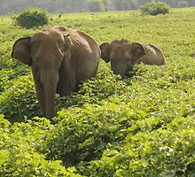 Mother and Baby Elephants by matsta