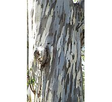Gum tree 9: three trunks and a twisted knee. Photographic Print