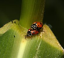 LADYBIRDS OR LADYBUGS ON A LEAF by Matthew Burniston