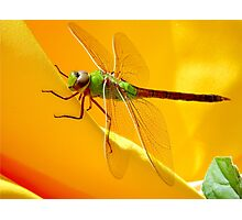 Majestic Green Darner Dragonfly Photographic Print