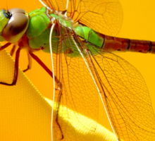 Majestic Green Darner Dragonfly Sticker