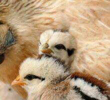 Go To Sleep - Hen & Chicks - NZ Sticker