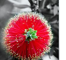 """Bottlebrush"" Callistemon by Holly Kempe"