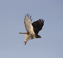 Red-Tail Hawk by KatsEye