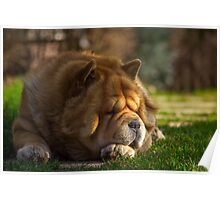 Spring sunbathing - Chow-Chow Poster