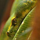 Green Tree Python by Dennis Stewart