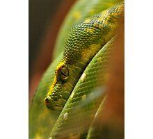 Green Tree Python Photographic Print