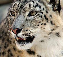 Snow Leopard by Bobby McLeod