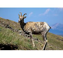 Bighorn Pose Photographic Print