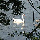 Spy Pond Swans 3 by Judi FitzPatrick