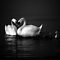 Swan Heart B&amp;W by Theodore Black