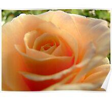 Snuggle rose Poster