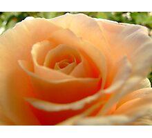 Snuggle rose Photographic Print