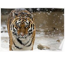 Tiger Snow Poster
