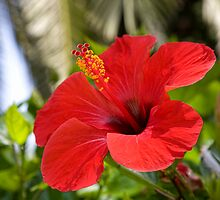 tropical  flowers(Hibiscus) by vkph