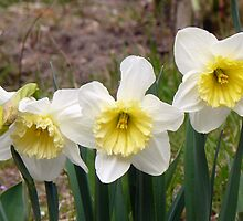 White and Yellow daffodils by 29Breizh33