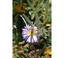 Purple Daisy, Brachyscome Multifida.  Mt Buffalo  Photographic Print