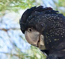 Female Red Tailed Black Cockatoo  by Steven Pearce