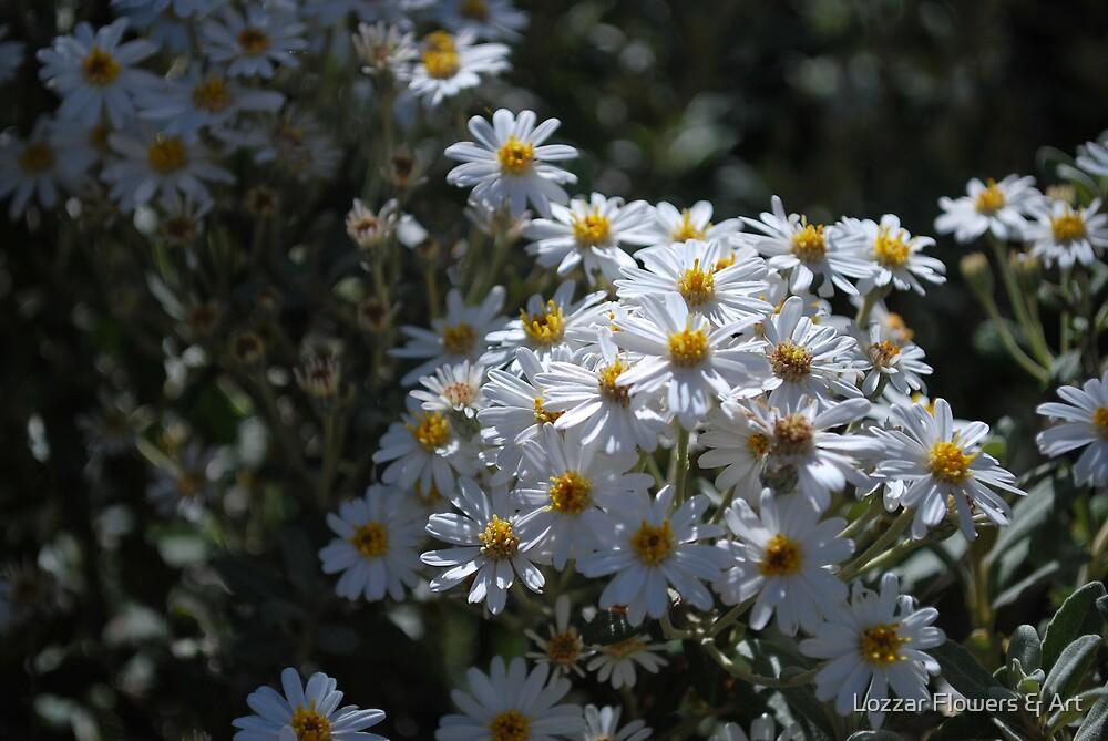 Brachyscome Multifida white form.  Mt Buffalo  by Lozzar Flowers & Art
