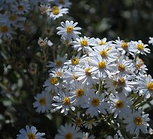 Brachyscome Multifida white form.  Mt Buffalo  by Lozzar Flowers & Art
