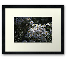 Brachyscome Multifida white form.  Mt Buffalo  Framed Print