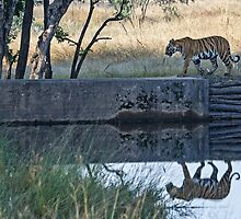 Reflection of a tiger by Pravine Chester