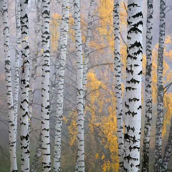 birch forest by vkph