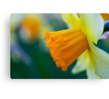 One thousand and one yellow daffodils Canvas Print
