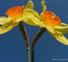 Daffodils in blue by Ronee van Deemter