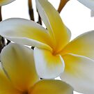 Sweet Plumeria by Cheryl  Lunde