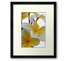 Sweet Plumeria Framed Print