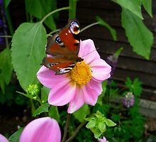 Butterfly on a Dahlia by sleza69