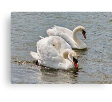 Mr & Mrs Swan Canvas Print