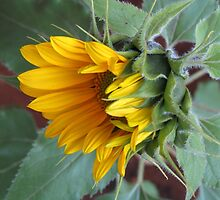 Sunflower by Elizabeth Kendall