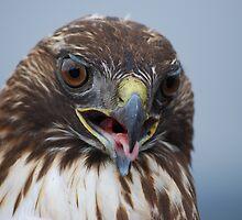 Red Tail Hawk by MistyDawn