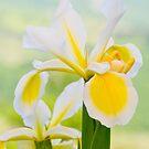 Iris by PrecisionFX