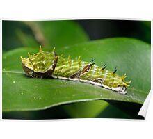 Orchard Swallowtail Caterpillar Poster